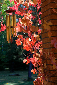 Virginia Creeper and wind chimes on a Fall afternoon.