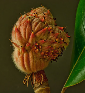 Magnolia seed pod from the backyard.