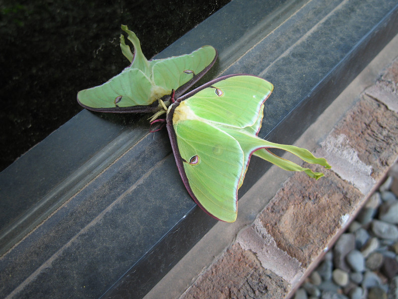 Luna Moth outside the office