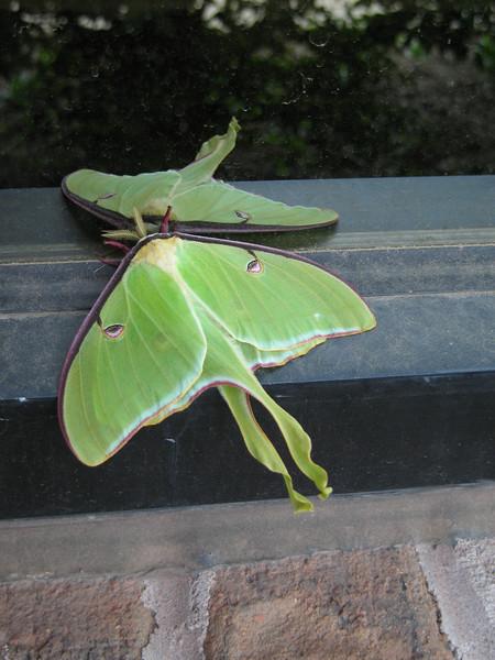 Luna Moth, Luna Moth outside the office