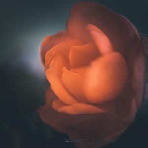 rose gold film-1