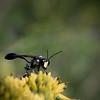 ID needed? Wasp like bug