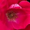 A Rose's Insides