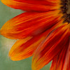 Painted Orange Sunflower