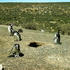 Magellanic Penguins<br /> Peninsula Valdes<br /> Puerto Madryn, Argentina September 1998