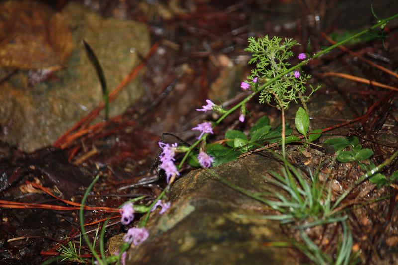 Wild Flower / Lake Lanier, GA