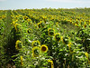 A field of sunflowers were a pleasnt surprise on our way to Potato Falls.