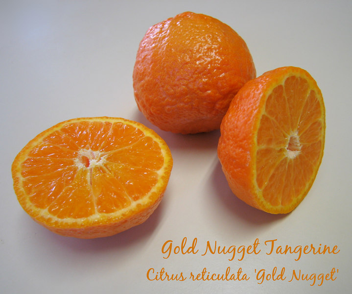 Gold Nugget tangerine - intact and halved 3 [text]