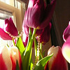 I get about 45 minutes of morning light through one of my bedroom windows, so I quickly moved everything off my my small table to set up the tulips and pearls.