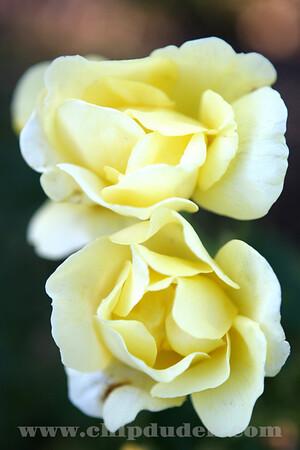 LS_Yellow Roses_9834