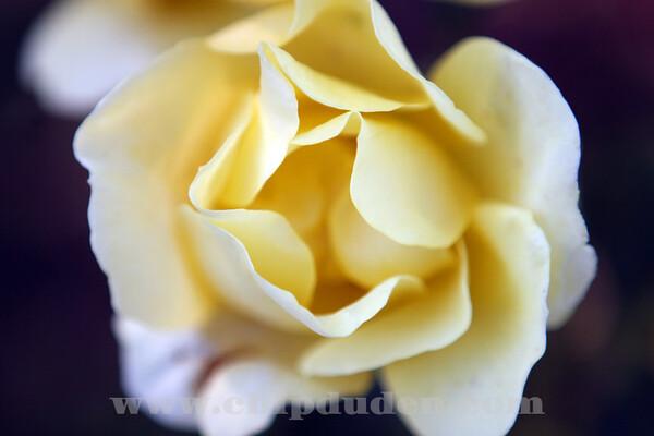 LS_Yellow Roses_9836