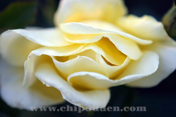 LS_Yellow Rose_9839