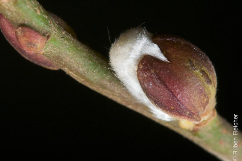 Salix alba blossom