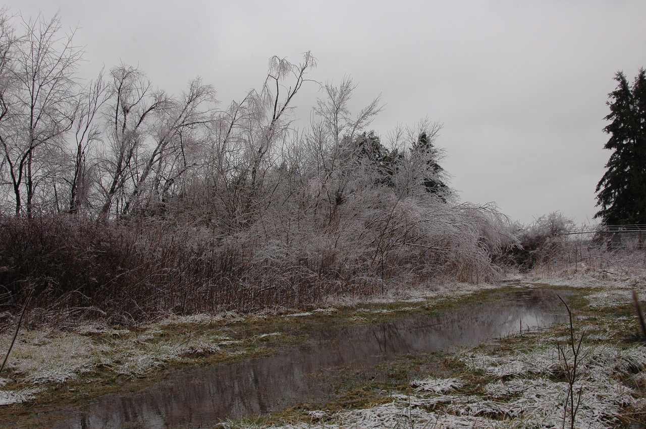 Trees after an ice storm
