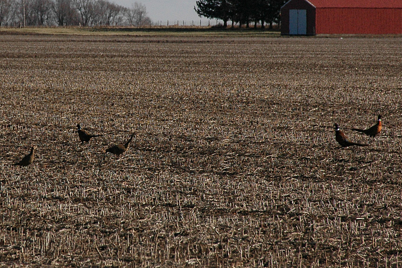 Pheasants behind our house