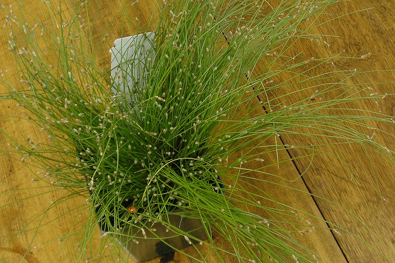 Fiber Optic Grass (yes, that's really what it is called)