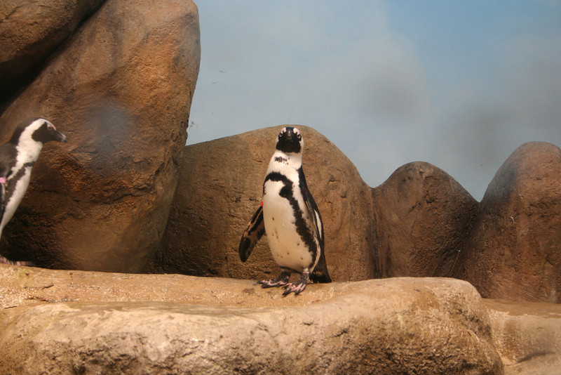 A live penguin walking around on some rocks.