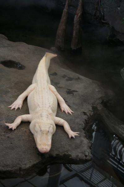 An albino alligator.