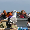 A sea gull waiting for some food.