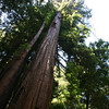 A look at the higher up part of a redwood.