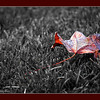 Fall maple leaf, alone in the wind