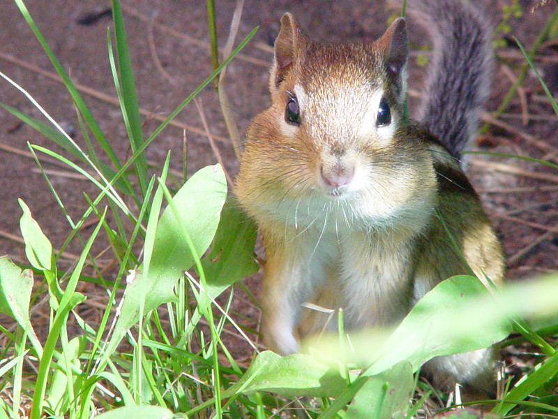 The chipmunks are never camera shy when they're busy stocking up.  Cornucopia, WI.