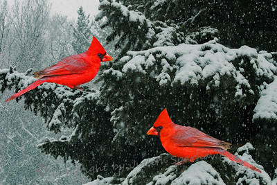 Two Cardinals Sitting in a Tree