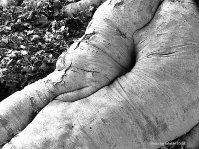 Beech root