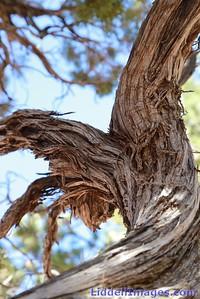 Canyon Pine....