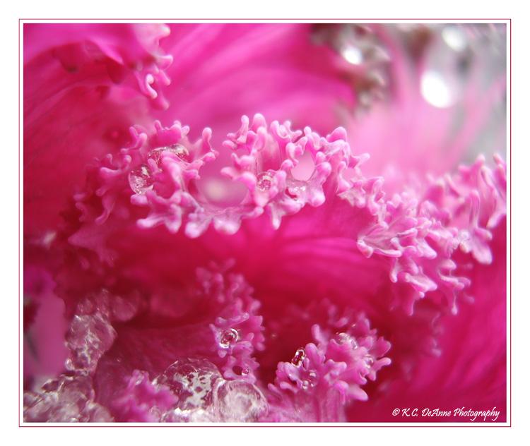 Pink Cabage Flower