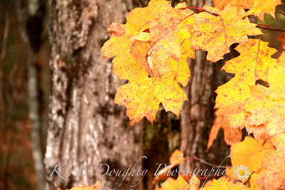 Autumn oak