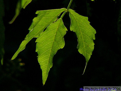 Odd Leaf