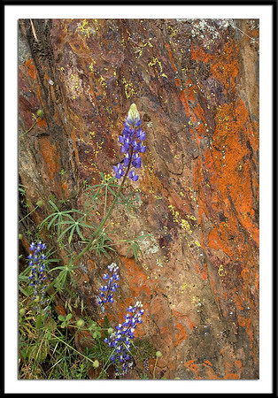 069Lupine against  Mossy Rock