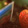 May 5Eversweet Strawberries