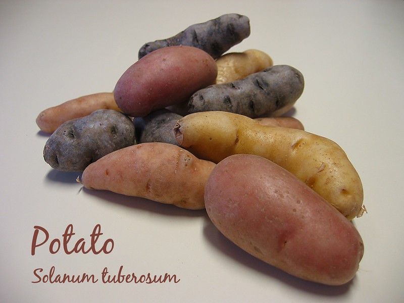 Potatoes - blue, red, fingerling [text]