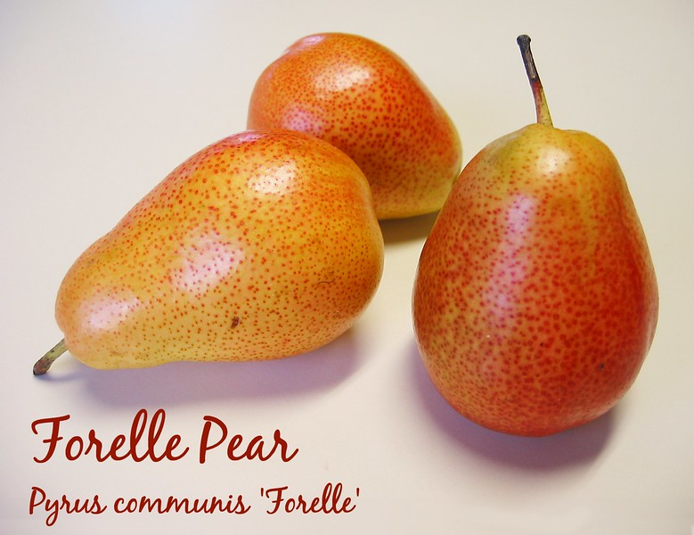 00aFavorite Forelle Pear [text]