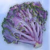 Ornamental kale - back (Brassica oleracea var  acephala)