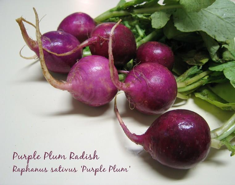00aFavorite Purple Plum Radish - bunch with greens still on [text]