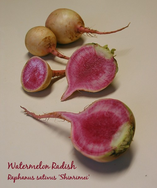 Watermelon Radish - cut and whole 2 [text incl scientific name]