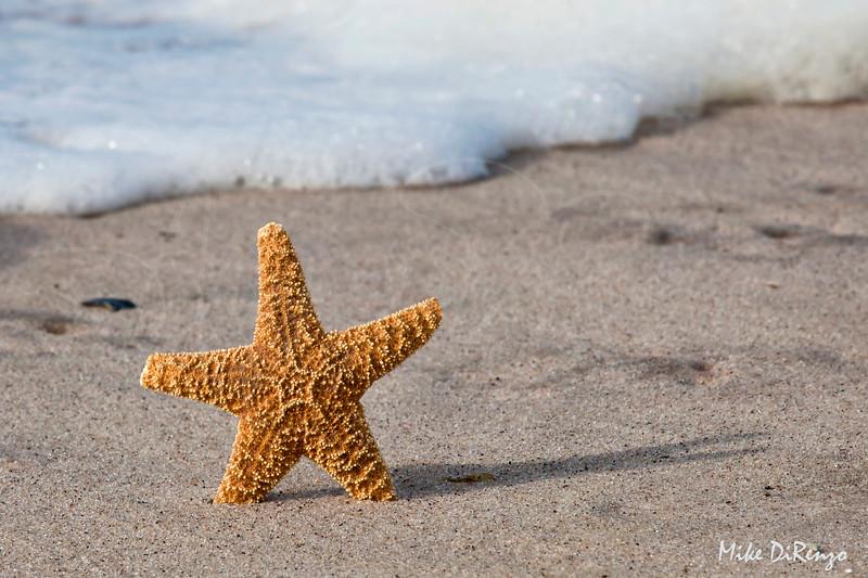 Starfish  8293    w14