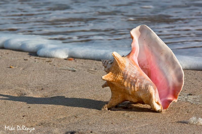 Conch Shell  8328  w14