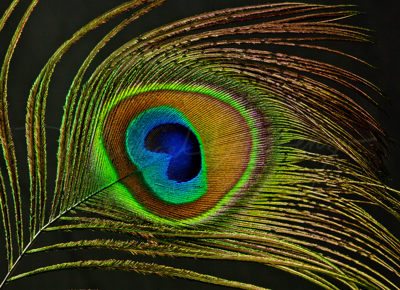 Peacock Feather  Detail w16