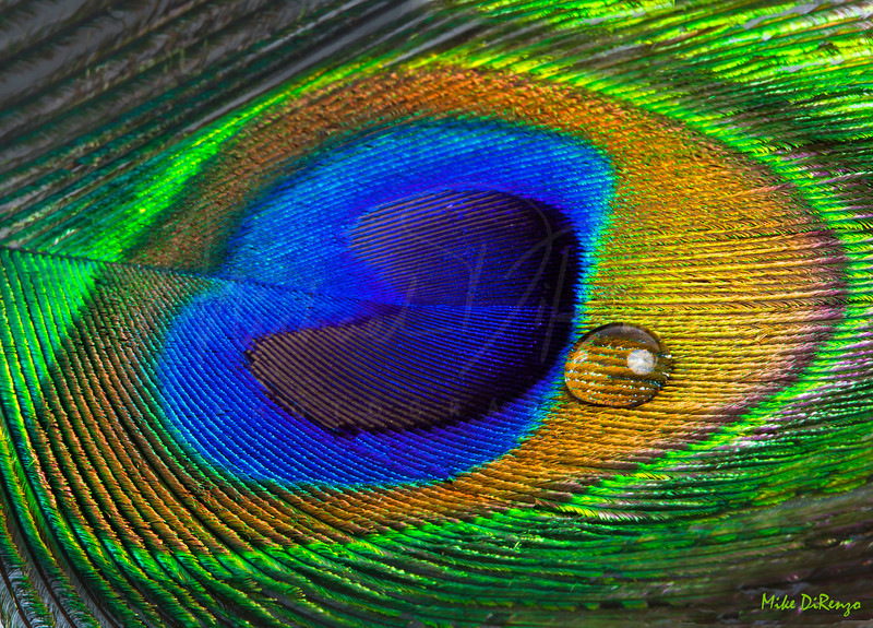 Peacock Feather with Water Drop  3521  w14