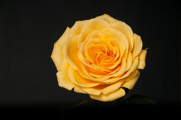 Une autre rose