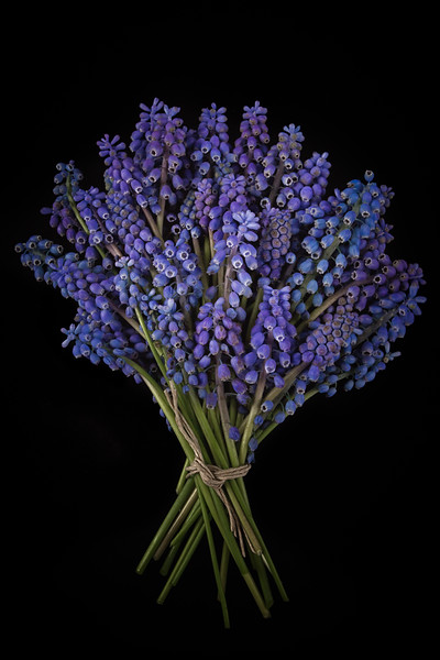 A bunch of grape hyacinth