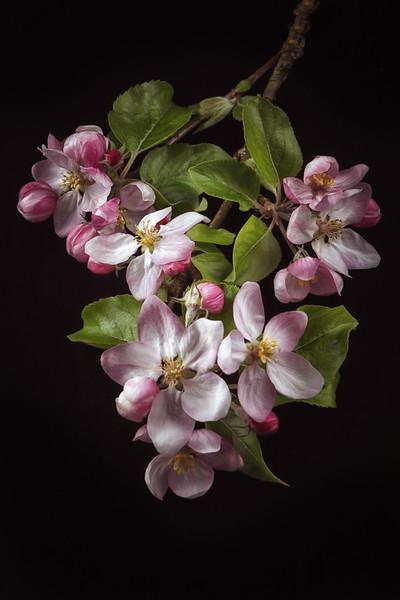 Apple Blossom still life