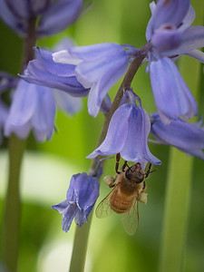 Bluebell with Bee