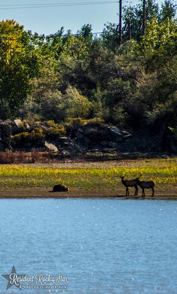 Elk at the reservoir 10-2-12