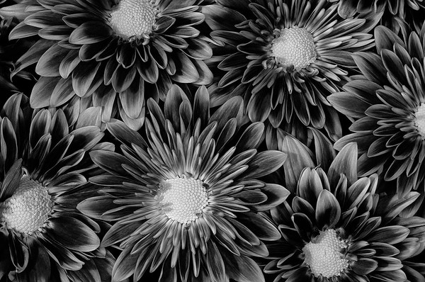 Chrysanthemum In Black & White