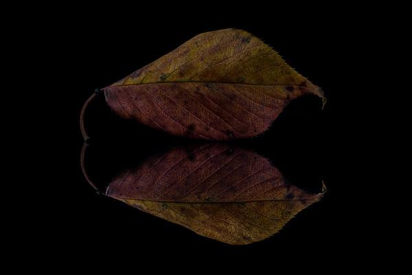 Autumn Cherry Leaf